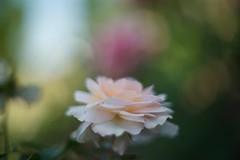 Hybrid Tea Bush Roses - Shirley's Rose (Sugi Ong) Tags: rose flower makro macro vintage prime 50mm tak takumar supertakumar outdoor garden bellows park sydney m42 dof bokeh depthoffield
