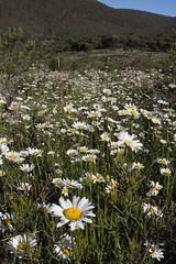 Weed - Ox-eye daisy (Environment + Heritage NSW) Tags: weed weedcontrol weedmanagement noxiousweed kosciuszkonationalpark kosciuszko keythreat keythreateningprocess weedwise oxeye oxeyedaisy leucanthemumvulgare