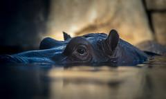 The Hippo's Gaze (larry fa) Tags: hyppo cincinnatizoo morning sunlit bokeh nikon d800 180mm hippopotamus reflection stillness