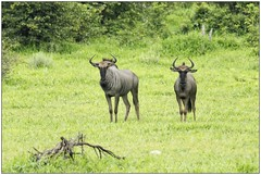 _DSC5525PJ_resultat (http://phj.bookfoto.com/) Tags: botswana philippe jubeau afrique delta okavango gnou