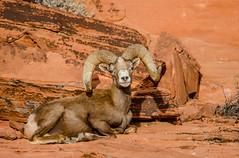 Spots (QuakeUp!) Tags: 2017 colinjmcmechanphotography desertbighornsheep nevada nikond7000 spots tamron150600 usa valleyoffirestatepark desert ram sandstone wildlife