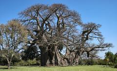 Sunland Baobab (AnyMotion) Tags: baobab tree afrikanischeraffenbrotbaum adansoniadigitata baum landscape landschaft 2005 anymotion africa afrika nature reisen travel sunlandbaobab modjadjiskloof limpopo southafrica südafrika rsa