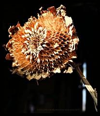 Ella Todavía Brilla / She Still Exudes (Konny ;-))) Tags: sunflower sonnenblume girasole girasol girassóis girasoles girassói sunbeam sonnenstrahl sole raggiodisole rayondesoleil rayodesol raiodesol