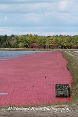 Whitesbog Cranberry Harvest  (66) (Framemaker 2014) Tags: whitesbog cranberry harvest burlington county chatsworth new jersey pinelands pine barrons southern united states america