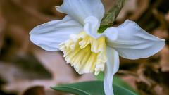 hybrid daffodil (Narcissus)