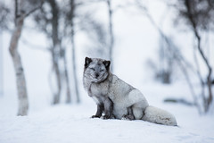 Just sitting here (CecilieSonstebyPhotography) Tags: bluefox canon canon5dmarkiii january langedrag markiii norway animal birch bokeh endangered fox portrait rev snow tree trees winter specanimal ngc npc