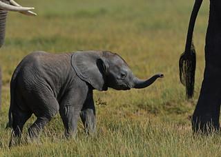 World Wildlife Day - Elephant Calf Following Mom - 8167b+