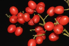 Ganophyllum falcatum (andreas lambrianides) Tags: ganophyllumfalcatum sapindaceae scalyash daintreehickory australianflora australiannativeplants australianrainforests australianrainforestplants australianrainforestfruitsandseeds arffs redarffs arfp warfp qrfp ntrfp lowlandarf monsoonarfdryarf ganophyllum monsoonarf dryarf