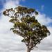 Tree, Primrose Hill, Paeroa