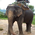 Elefant bei Chiang Rai