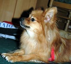 chewbaca (JamieDrakePhotos) Tags: orange dog chewy profile canine pomeranian cmc photogenic chewbaca badpuppy commentonmycuteness savingflorida