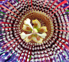 Passion Flower (photoholic1) Tags: flower macro closeup ilovenature colorful passiflora straight passionflower naturesfinest flowerfactory mostcomments scoreme40 apexmacro beautifulbuds colorphotoaward