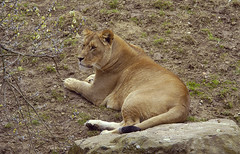 lioness queen (bea2108) Tags: animal animals cat zoo lion bigcat