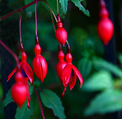 Fuchsia (Whorus Maximus) (Peter you've lost the news) Tags: red flower nature ilovenature fuchsia bestviewedlarge intensecolour