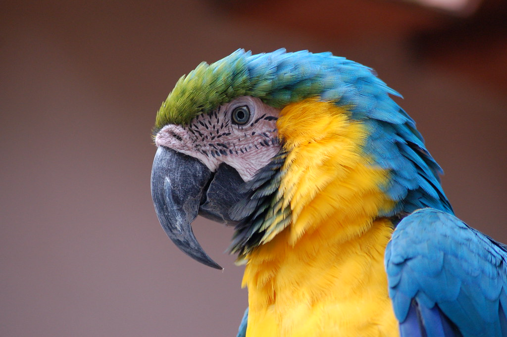 Arara-azul-e-amarela (Ara ararauna)