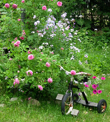 Trike & Roses (deu49097) Tags: roses tricycle wildflowers
