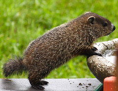 baby woodchuck (eva8*) Tags: baby cute rain wow rodent drink maine woodchuck groundhog lookatme marmot gardiner 1235 eva8 interestingness213 i500 200mm28