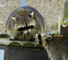 fighting racoons (bea2108) Tags: animal animals zoo racoon osnabrck racoons