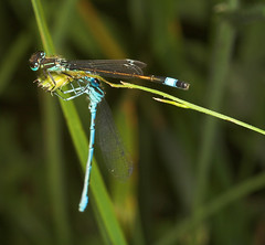 "Common Blue and Blue Tailed Damselflies • <a style=""font-size:0.8em;"" href=""http://www.flickr.com/photos/57024565@N00/161669445/"" target=""_blank"">View on Flickr</a>"