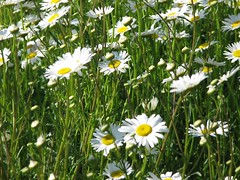 Wild Dasies (Through Joanne's eye) Tags: flowers wild daisies photographer daisy joanne manthei lovesme lovesmenot donttell throughjoanneseye canen