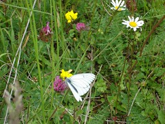 Butterfly - Black veined white (Kentishman) Tags: white france butterfly vienne labarre dsc00854 blackveined