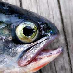 Eye* (Imapix) Tags: portrait fish eye nature animal photo bravo photographie 500v20f quality fisheye mostinteresting trout imapix truite gatanbourque copyright2006gatanbourqueallrightsreserved gaetanbourque pix50 imapixphotography gatanbourquephotography