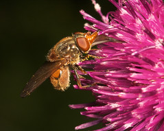"""Hoverfly (Rhingia Campestris)(2) • <a style=""""font-size:0.8em;"""" href=""""http://www.flickr.com/photos/57024565@N00/167573586/"""" target=""""_blank"""">View on Flickr</a>"""
