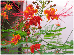Caesalpinia pulcherrima (Peacock Flower, Pride of Barbados), in our garden May 2006
