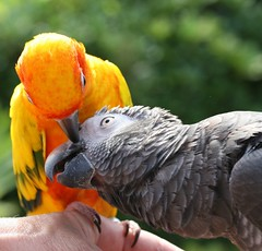 Good Girl! (Ollie girl) Tags: friends orange bird outside grey gray parrot ollie africangrey bobby goodgirl sunconure timneh featheryfriday