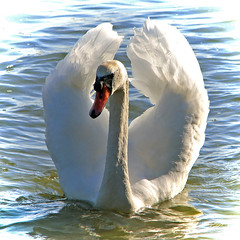 Swan (Marko_K) Tags: bird birds tag3 taggedout swan tag2 tag1 top20wings swans 50v5f top20birdshots specnature specanimal animalkingdomelite p1f1