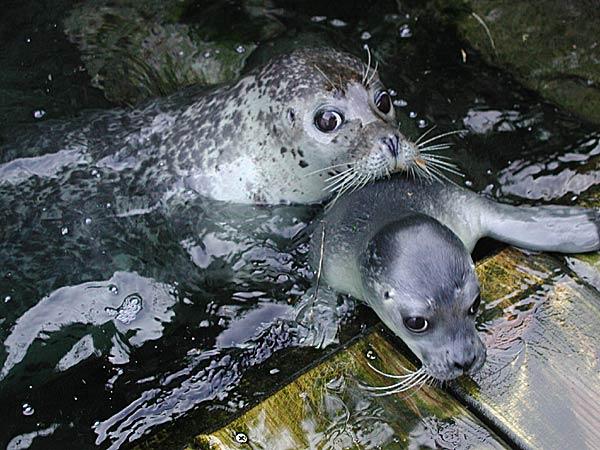 Petra y su hijo Altair (Aquarium Finisterrae, La Coruña)