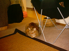 Pictures 2 044 (amydoll1477) Tags: cats teaser