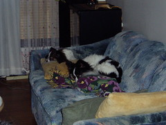 Maxxie and Sophie sleeping on the couch (PetLvr) Tags: pets sophie papillon maxxie