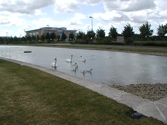 Swans (Steve Gilham) Tags: swans cygnets cambourne