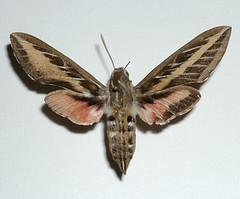 White-lined sphinx moth: Hyles lineata (abnormal variant) (tigerbeatlefreak) Tags: pink brown sphinx bug insect moth large lepidoptera sphingidae macroglossinae hyleslineata dorsal abnormal bmna whitelinedsphinx hyles