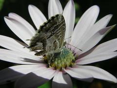 Pequena borboleta (Photoamador) Tags: insectos butterflies insects borboletas c770uz 50club aplusphoto