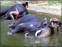 Elephants taking bath