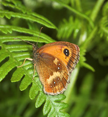 "Gatekeeper Butterfly (pyronia tithonu(2) • <a style=""font-size:0.8em;"" href=""http://www.flickr.com/photos/57024565@N00/183996231/"" target=""_blank"">View on Flickr</a>"