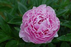 Peony (hkkbs) Tags: nikond200 nikkor 60mmf28dmicro macro mygarden peony paeonia pion rosa pink blomma flower västkusten westcoast sverige sweden 100views 200views 300views 400views
