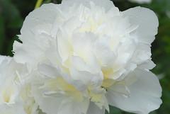 Peony (hkkbs) Tags: nikond200 nikkor 60mmf28dmicro macro mygarden peony paeonia pion vit white blomma flower västkusten westcoast sverige sweden 100views 200views 300views 400views