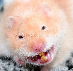 Smile, you are on candid camera! (hamsterunited) Tags: pet cute animal top20animalpix furry milo hamster animalplanet hammy syrianhamster xgf02
