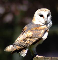 Barn owl 1 (Patrick Costello) Tags: bird d50 explore owl barnowl hawkconservancy specanimal avianexcellence