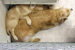 Cuddling (Back in the Pack) Tags: dog calgary dogs goldenretriever fence puppy cuddle crate winston cuddling kennel royce dogdaycare wwwdogdaycareca ironicals wwwbackinthepackca albertabarks