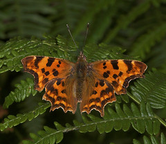 "Coma Butterfly (polygonia c-album)(4) • <a style=""font-size:0.8em;"" href=""http://www.flickr.com/photos/57024565@N00/190864994/"" target=""_blank"">View on Flickr</a>"