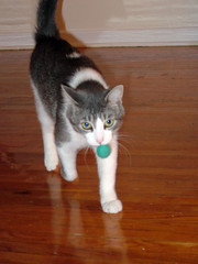carrying-his-prey4 (cathypeng) Tags: life white home cat ball grey play apartment kitty felt dex