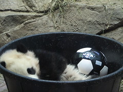 Tai & Soccer Ball - Remember When?? (The Brit_2) Tags: giant zoo dc washington football panda soccer explore tai national shan giantpanda futbol taishan