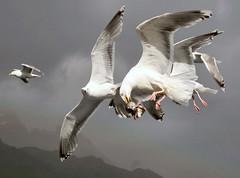 Fischkopf (mitue) Tags: norwegen möwe lofoten oneyear möwen wanderreise abigfave