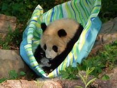 Ahhh...nice, cool ice! (desbah) Tags: zoo panda taishan