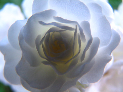 Backlit White Rose
