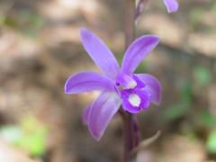 Orquidea (Hexalectris grandiflora)